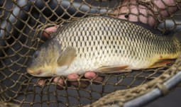 Newly bred carp is resistant to diseases and leads to sale