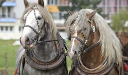 Areálem univerzity bude znít dusot koní