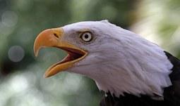 Čeští vědci pomohli objasnit záhadná úmrtí orlů v USA
