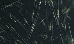Jak vzniká jed v mořských řasách?