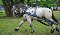 V areálu univerzity se konala soutěž chladnokrevných koní